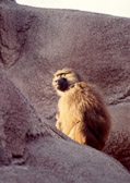 baboon-on-rocks.jpg