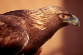 golden-eagle-close-up.jpg