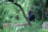 gorilla-in-the-woods.jpg