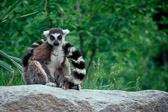 ring-tailed-lemur.jpg