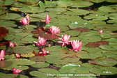 flowering-water-lillies-mkd-tmb.jpg