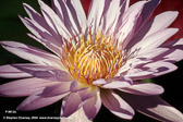 flowering-water-lilly-mkd-tmb.jpg