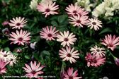 pink-daisies-mkd-tmb.jpg