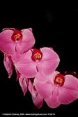 pink-orchids-mkd-tmb.jpg