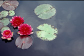 water-lillies-red-and-grey.jpg