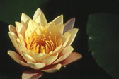water-lilly-flower.jpg