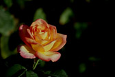 yellow-and-red-rose.jpg