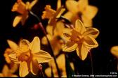 yellow-daffodils-mkd-tmb.jpg