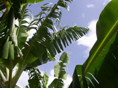 st-lucia-banana-leaves.jpg