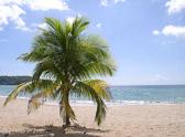st-lucia-palm-tree.jpg